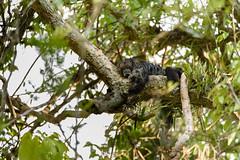 Equatorial saki monkey ( Pithecia aequatorialis ) (Pito-pito) Tags: nikon nikond750 nikkor tamron tamron150600 ecuador equateur amazonia amazonie amazoniequatorienne river jungle singe monkey mono primate animal animaux mammifre wild wildlife nature equatorialsakimonkey sakimonkey pitheciaaequatorialis monovolador