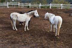 Cavalls a Cal Perelló (esta_ahi) Tags: lleida cavalls caballos equusferuscaballus equus ferus caballus equidae mammalia animales domésticos fauna lametlladesegarra segarra lasegarra lérida spain españa испания