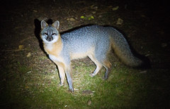 Grey Fox (Wild Birdy) Tags: urocyon cinereoargenteus fox grey gray mn minnesota animal wild kabekona night nocturnal cute adorable shadow usa laporte north forest woods canidae