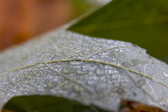 fall W.I. morning dew-13 (cityofhollandmi) Tags: fall leaves waterdroplets morningdew