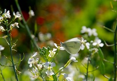 White Cabbage Butterfly perched on white flower (daniellacy562) Tags: blur bokeh butterfly cabbagebutterfly closeup feeding flower garden insect nature perching pests plants white wild