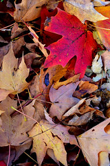 One In Every Crowd (Jade Chanoquaway) Tags: nikon nikkor d5500 cans2s fall autumn october ontario canada outdoor outside outdoors nature light shadow contrast leaves leaf foliage vegetation texture pattern flickrfriday autumnleaves red brown orange yellow stems