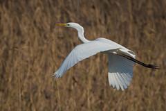 Silberreiher 015 (bertheeb) Tags: silberreiher reiher wasservogel