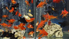 Aquarismo 05 (Parchen) Tags: aqurio aquarismo aqurios peixes ornamentais guadoce criao venda loja exposio coloridos variedade peixestropicais foto fotografia imagem registro parchen carlosparchen