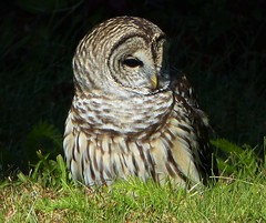 Barred Owl (Strix varia) (Nature In a Snap) Tags: barred owl strix varia bird birding birdwatching nature wildlife cape may nj new jersey raptor fall beautiful