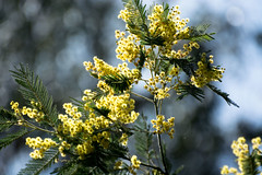 Wattle (Michelle Bruton) Tags: wattle tree flora australia yellow flower flowers