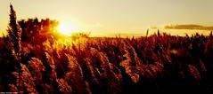 Les derniers Rayons... (sabinelacombe) Tags: berreletang etang paca provence bouchesdurhone roseaux marais crepuscule jaune