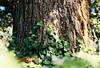 Climbing Ivy (Katie Tarpey) Tags: tree ivy light depthoffield film kodak kodakportra400 portra 35mm nikonfm10 nikkor50mm14 nature melbourne fitzroygardens