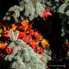 Contrasti autunnali Per osservare (Premere tasto L) (Ferruccio Zanone) Tags: autunno colori rosso giallo foglie abete argentato falsa vite americana canadese caravaggio natura