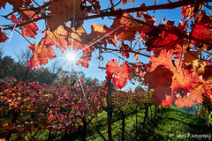 Autumn vineyard (Uros P.hotography) Tags: awesome amazing beautiful breathtaking color excellent fantastic hiking incredible nice perfect stunning superb trip adventure unique view unforgettable extraordinary exceptional brilliant glorious striking aweinspiring stupendous urosphotography moody shadows travel tourism memorable remarkable tour journey light time passing sony a7ii mm 1635 fullframe nature sunset sky cloud road path forest tree fall autumn slovenija slovenia kras karst vineyard teran refošk leaves bright colorsun