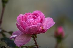 Herbst - Im Rosengarten am Morgen (J.Weyerhuser) Tags: mainz herbst stadtpark rosen morgentau