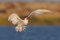 Playing with food, Tern style! (bmse) Tags: elegant tern bolsa chica fish fishing tossing flipping canon 7d2 400mm f56 l bmse salah baazizi wingsinmotion