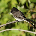 Black phoebe, Sayornis nigricans, along the Guadalupe River in Santa Clara, California, USA thumbnail