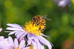 A honey bee collecting nectar and pollen on an Autum aster. (Bienenwabe) Tags: asterdumosum aster asteraceae herbstaster biene pollen yellowpollen pollenbasket natur nature autumn autumnflowers flower macro