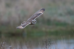 Short-eared owl (Andy Davis Photography) Tags: owl hunting marsh stare eyes asioflammeus canon grass reeds