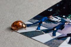 Beetle, Beatles and beetle. [Explored] (mdcaptures) Tags: spot coleoptera abbeyroad ladybird beetle orange ladybug pedestrian volkswagen beatles beatlesbeetles cover insect macromondays vw macro abbey road crossing paul ringo john lennon mccartney george harrison starr bug suit golden bronze
