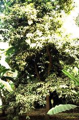 Ägypten 1999 (482) Luxor: Gezira el-Mozh (Banana Island) (Rüdiger Stehn) Tags: afrika ägypten egypt nordafrika feigenbaum baum feige 1999 winter urlaub dia analogfilm scan slide 1990er 1990s oberägypten südägypten aṣṣaʿīd diapositivfilm analog kbfilm kleinbild canoscan8800f canoneos500n 35mm luxor مصر landschaft pflanzen bananaisland bananeninsel insel nilinsel geziraelmozh الأقصر aluqṣur reise reisefoto rüdigerstehn