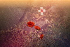 AT THE GOING DOWN OF THE SUN (henrhyde (gill)) Tags: grave cross poppies flower red stones leaves autumn sunset sun sunshine vintage vintagelens armastice armasticeday rememberance rememberanceday