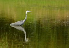 Heron (joeke pieters) Tags: 1290463 panasonicdmcfz150 reiger blauwereiger heron reiher héron reflections vogel bird wildlife ngc platinumheartaward