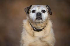 Birty Headshot (Ben Lockett) Tags: birty dog pug cross mongrel animal pet portrait cute brown adorable old autumn leaves bokeh 120300 headshot sigma blur canon 5d tele knyperselypool