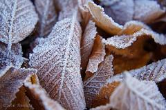 Winterleaves ( Annieta ) Tags: annieta december 2016 sony a6000 nederland netherlands krimpoenerwaard tuin garden jardin vorst frost koud cold brrr ice ijs allrightsreserved usingthispicturewithoutpermissionisillegal