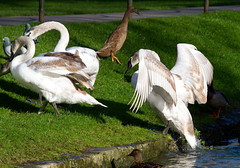 Food fight! (Mukumbura) Tags: swans cygnets young juvenile ducks pigeons birds wildlife