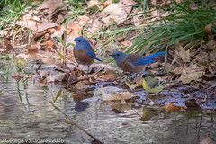 Western Bluebird & Lesser Finch (gvall66) Tags: az bluebird redrockcrossing sedona westernbluebird park