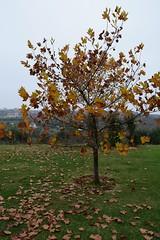 Winter is coming.. (fil_____) Tags: winter autumn nikond3300 nikon neoiepivates thessaloniki fall tree leaves garden backyard grass greece landscape θεσσαλονικη φθινοπωρο χειμωνασ νεοιεπιβατεσ δεντρα δεντρο φυλλα φυση nature ngc