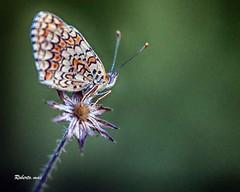 SON RIMASTA SOLA IO!! (Roberto.mac.) Tags: farfalle landscapes paesaggi campagna natura macro colori robertomac