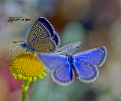 Two Darlings (haidarism (Ahmed Alhaidari)) Tags: butterfly insect bug darling nature sonya65 depthoffield focus outdoor macro macrophotography ngc yellow bud colorful greatphotographers