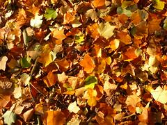 Liriodendron Laub (Jörg Paul Kaspari) Tags: trier palastgarten liriodendron tulipifera liriodendrontulipifera tulpenbaum herbstfärbung autumncolor laub blätter leaves laubdecke herbst autumn fall