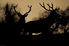 dawn.stags (steve2129 - on and off) Tags: d7100 sigma150600mmf563dgoshsmc steve2129 studley deer northyorkshire wildlife nature dawn silhouette monochrome black