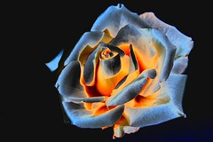 light up the world, give roses (HansHolt) Tags: rose roos light lightup world affection love licht flower white bloem wit macro canon 6d canoneos6d canonef100mmf28macrousm