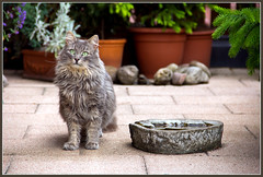 Let's play ! (FocusPocus Photography) Tags: cat garden feline waiting chat kitty gato katze garten kater fynn longhaired wartet letsplay coth kittysuperstar kissablekat bestofcats kittyschoice catmoments langhaarkatze alittlebeauty fynnegan willspielen