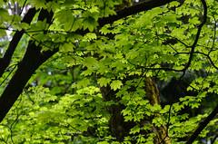 Vine Maple (ajblake05) Tags: plants canada leaf britishcolumbia artsy burnaby northamerica lowermainland vinemaple greatervancouver sapindaceae burnabymountainconservationarea acercircinatum gallery130623