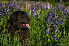 Cooper (John Clay173) Tags: festival newfoundland newengland newhampshire whitemountains nh cooper wildflowers lupine sugarhill jclay