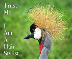 Hair Stylist (Nikita Hengbok) Tags: nature birds animals fauna avian naturephotography greycrownedcrane birdphotography avianphotography wildbirdsofsingapore birdsofsingapore animalsofsingapore wildlifeofsingapore escapeesbirdspeciesofsingapore introducedbirdspeciesofsingapore greycrownedcranesinsingapore