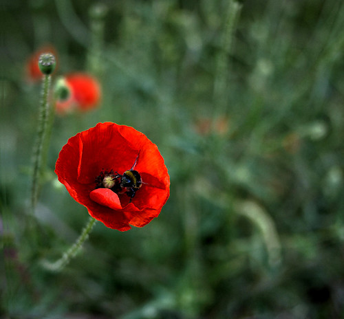 _ poppy and bee _