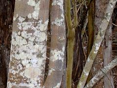 Celtis paniculata & Gossia bidwillii (dustaway) Tags: plants nature australia bark nsw trunk treebark lichen myrtaceae ulmaceae northernrivers cannabaceae australiantrees arfp australianrainforestplants gossia nswrfp qrfp celtispaniculata gossiabidwillii littoralarf subtropicalarf dryarf vinethicketarf bigscrubremnants alstonvilleplateau