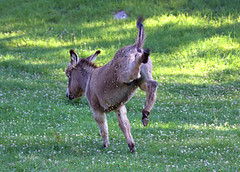Kick Ass Photograph (Terry Aldhizer) Tags: summer ass virginia kick farm donkey photograph terry buck equus bucking asinus foal vinton aldhizer terryaldhizercom
