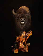 "Utah Taxidermy - Buffalo • <a style=""font-size:0.8em;"" href=""http://www.flickr.com/photos/27376150@N03/9350854313/"" target=""_blank"">View on Flickr</a>"