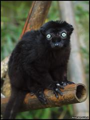 Blue-eyed black lemur (Eulemur macaco flavifrons) (Xavier Bayod Farr) Tags: blue black animal de zoo olympus lemur macaco eyed xavier 70300mm et botanique parc zuiko mammalia primates mulhouse zoologique blueeyed eulemurmacacoflavifrons xbf bayod eulemur blacklemur lemuridae eulemurmacaco farr sclaters blueeyedblacklemur flavifrons e620 xavierbayod xavierbayodfarr milhsa