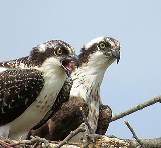 Pair of Ospreys on the Nest