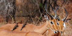 Red-billed Oxpecker (Buphagus erythrorhynchus) (Brendon White) Tags: birds botswana impala redbilledoxpecker buphaguserythrorhynchus khwai