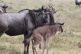 Wildebeest calf