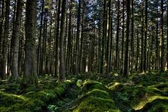 Light in Dark Places (nalamanpics) Tags: trees green nature pine landscape countryside woods devon dartmoor pinetrees canonef24105mmf4lisusm devoncountryside fernworthyreservoir canon5dmk11