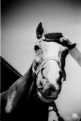 IMG_0008 (froher.ernst) Tags: old bw horse film analog diy kodak lomolca rodinal russian cyrillic pferd 1100 standdevelopment shootfilm standentwicklung horsephotography technipan