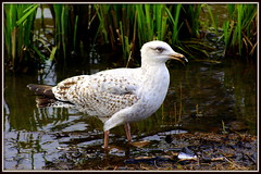 Young gull (* RICHARD M (5 million views)) Tags: seagulls nature birds wildlife seagull gull gulls ornithology southport seabird seabirds merseyside sefton laridae immaturegull younggull heskethpark