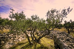 Olive tree (Uros P.hotography) Tags: trip travel autumn trees sea sky tree history hoja tourism nature colors beautiful photoshop fence island lights amazing nice fantastic nikon perfect europe exposure colours tour exterior view superb hiking unique awesome famous olive croatia sigma tourist glorious journey frame stunning excellent lovely striking incredible 1020 unforgettable brilliant hdr breathtaking extraordinary aweinspiring adriatic adriaticsea remarkable monumental istria stupendous hrvatska jadran memorable valun istra d300 exceptional cres lubenice jesen photomatix acclaimed hrvaka oblaki slod300
