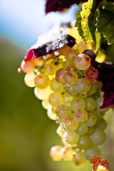 Close-up - Grapes (lostin4tune - Thank's for a million views!) Tags: lake switzerland riviera harvest vine vineyards grapes vignes vendanges lavaux winemakers corseaux raisn